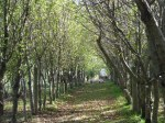 Rows of apple trees leading to the orchard pigs