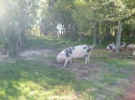 These pigs eat fallen apples in the orchard, helping to decrease disease and pests.  They grow to be at least 500 pounds.  They sure look well fed!